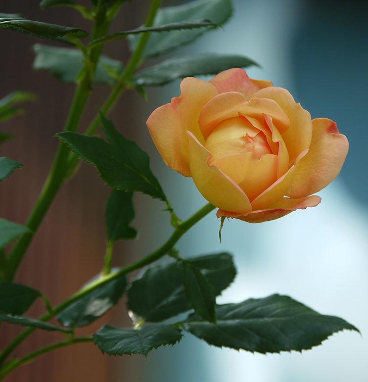 レディ・オブ・シャーロット(ツルバラ)が綺麗に咲いた。2017年-10.jpg