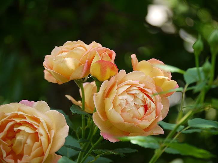 レディ・オブ・シャーロット(ツルバラ)が綺麗に咲いた。2017年-11.jpg