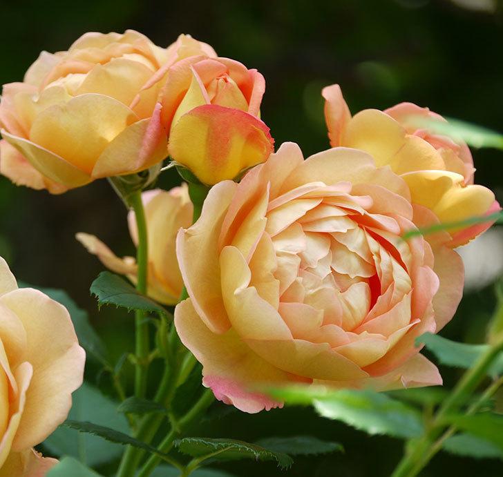 レディ・オブ・シャーロット(ツルバラ)が綺麗に咲いた。2017年-12.jpg