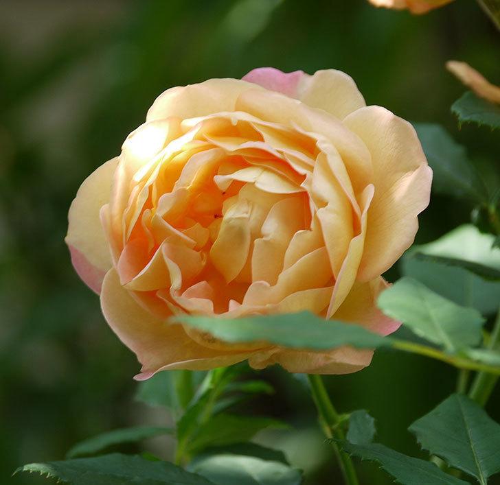 レディ・オブ・シャーロット(ツルバラ)が綺麗に咲いた。2017年-13.jpg