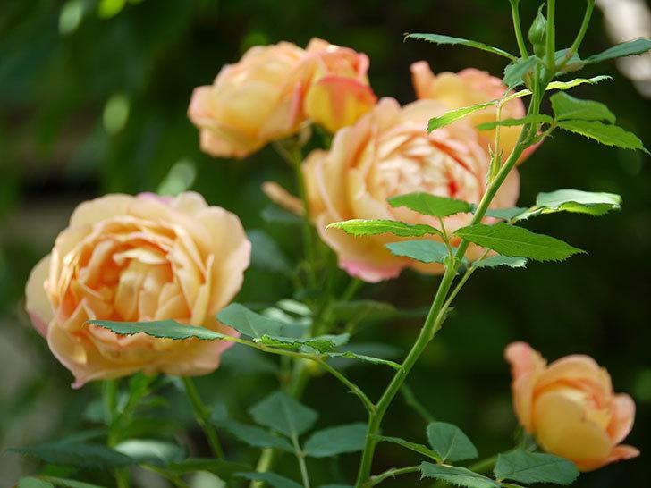 レディ・オブ・シャーロット(ツルバラ)が綺麗に咲いた。2017年-14.jpg