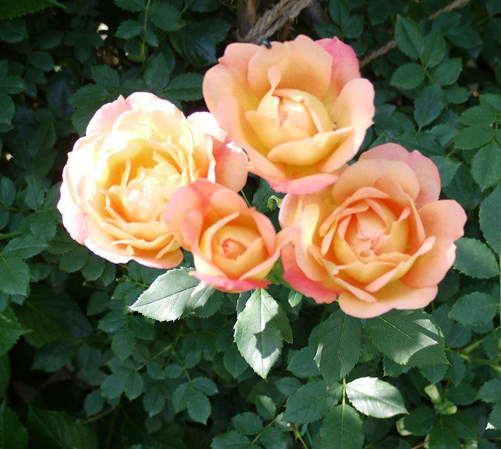 レディ・オブ・シャーロット(ツルバラ)が綺麗に咲いた。2017年-16.jpg