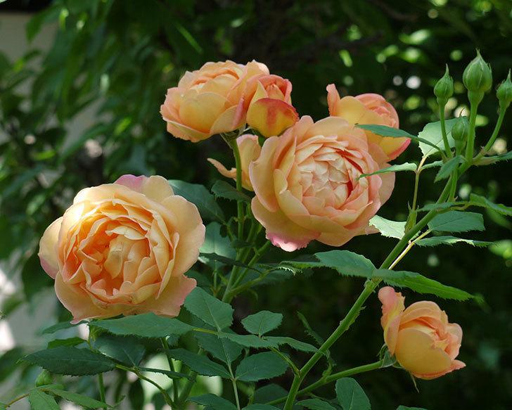 レディ・オブ・シャーロット(ツルバラ)が綺麗に咲いた。2017年-17.jpg
