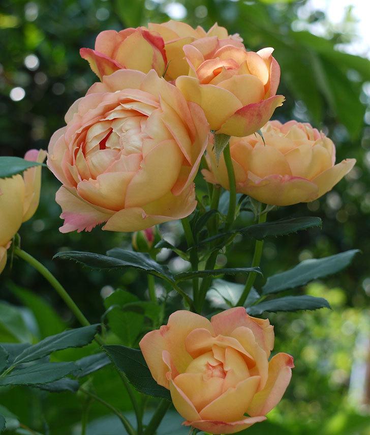 レディ・オブ・シャーロット(ツルバラ)が綺麗に咲いた。2017年-19.jpg