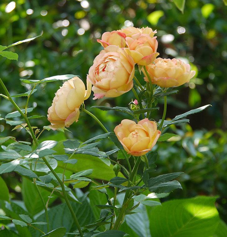 レディ・オブ・シャーロット(ツルバラ)が綺麗に咲いた。2017年-2.jpg