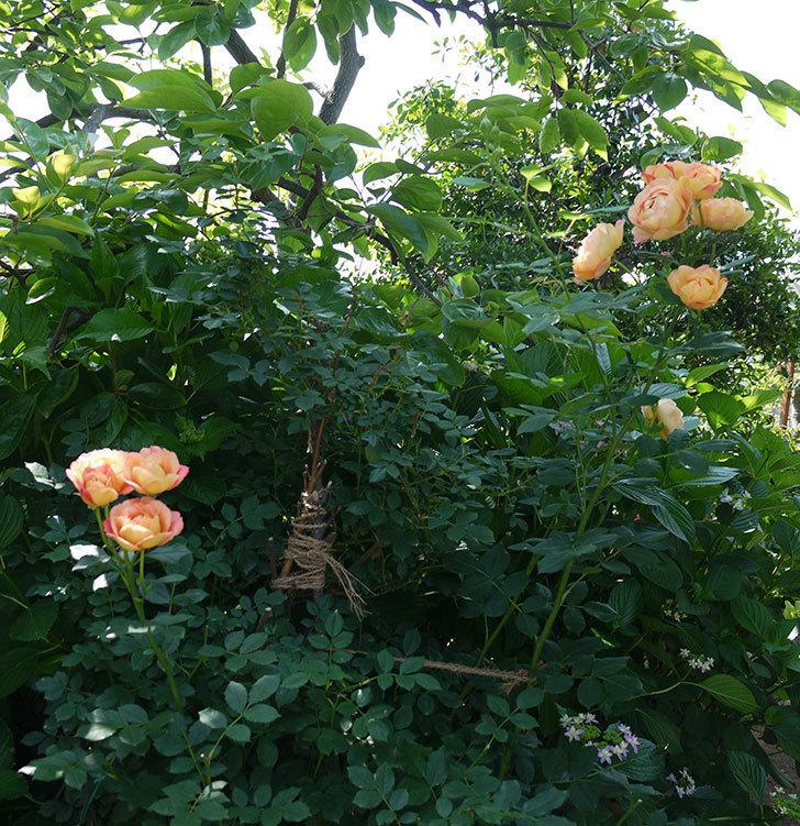 レディ・オブ・シャーロット(ツルバラ)が綺麗に咲いた。2017年-21.jpg