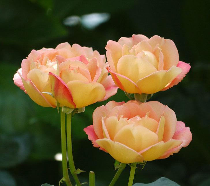 レディ・オブ・シャーロット(ツルバラ)が綺麗に咲いた。2017年-4.jpg