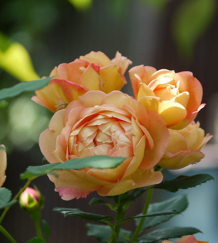 レディ・オブ・シャーロット(ツルバラ)が綺麗に咲いた。2017年-9.jpg