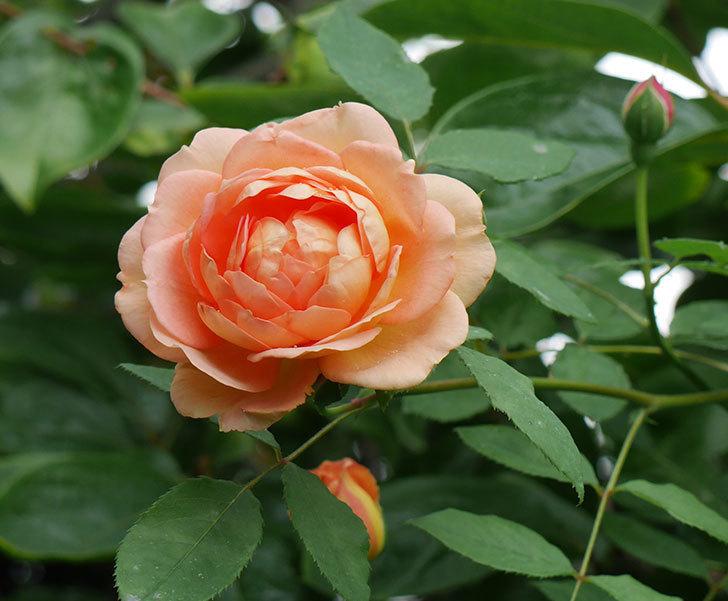 レディ・オブ・シャーロット(ツルバラ)の2番花がまた咲いた。2018年-1.jpg