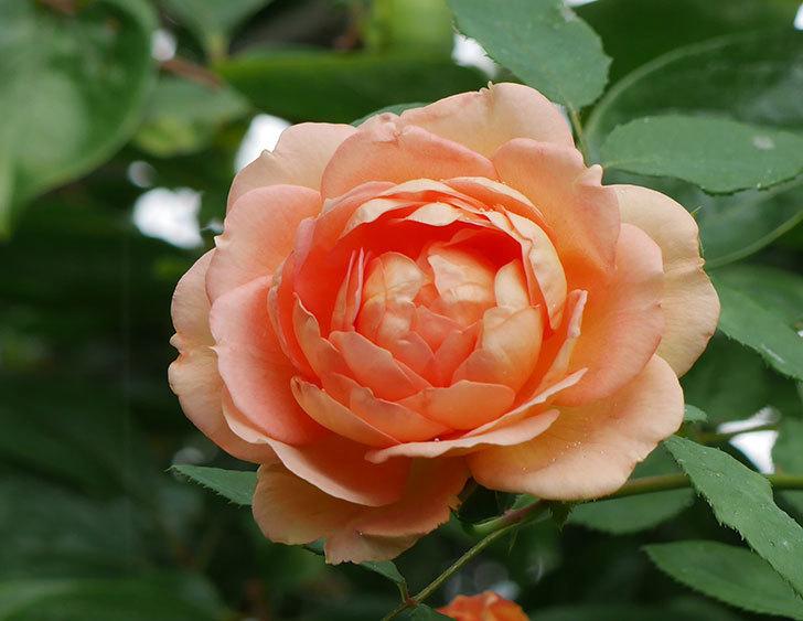 レディ・オブ・シャーロット(ツルバラ)の2番花がまた咲いた。2018年-2.jpg