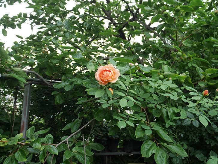 レディ・オブ・シャーロット(ツルバラ)の2番花がまた咲いた。2018年-3.jpg