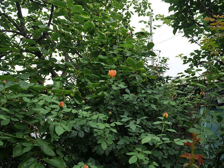 レディ・オブ・シャーロット(ツルバラ)の2番花がまた咲いた。2018年-4.jpg