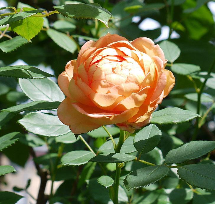 レディ・オブ・シャーロット(ツルバラ)の2番花が咲いた。2017年-1.jpg