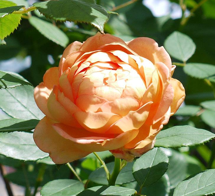 レディ・オブ・シャーロット(ツルバラ)の2番花が咲いた。2017年-2.jpg