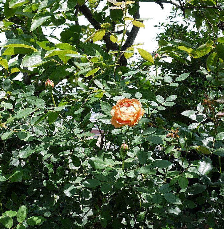 レディ・オブ・シャーロット(ツルバラ)の2番花が咲いた。2017年-3.jpg