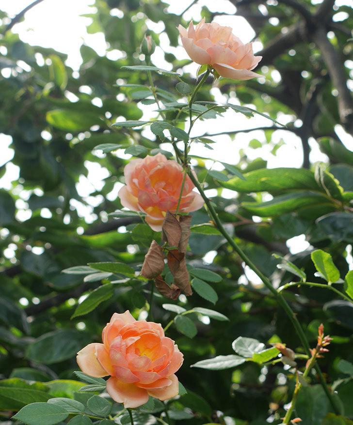 レディ・オブ・シャーロット(ツルバラ)の夏花が3個咲いた。2018年-1.jpg