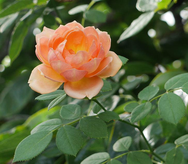 レディ・オブ・シャーロット(ツルバラ)の夏花が3個咲いた。2018年-2.jpg