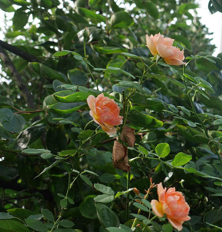 レディ・オブ・シャーロット(ツルバラ)の夏花が3個咲いた。2018年-5.jpg