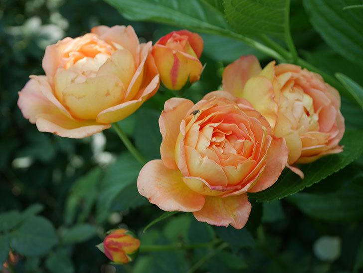 レディ・オブ・シャーロット(ツルバラ)の残っていた蕾が咲いた。2019年-1.jpg