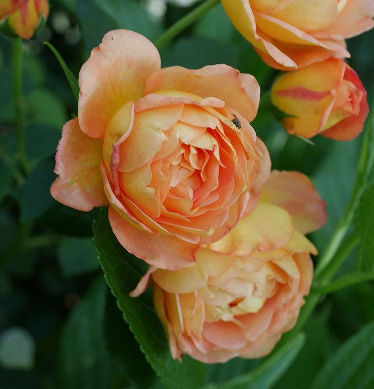 レディ・オブ・シャーロット(ツルバラ)の残っていた蕾が咲いた。2019年-2.jpg