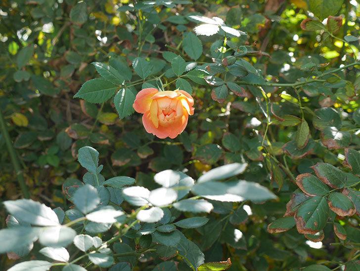 レディ・オブ・シャーロット(ツルバラ)の秋花がまた咲いた。2018年-3.jpg