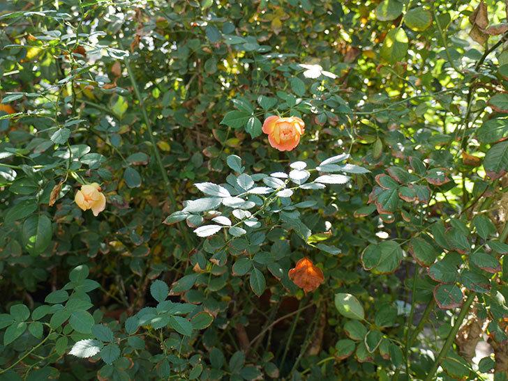 レディ・オブ・シャーロット(ツルバラ)の秋花がまた咲いた。2018年-4.jpg