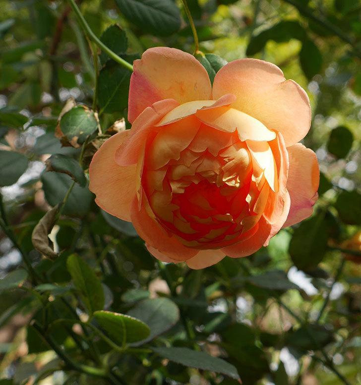 レディ・オブ・シャーロット(ツルバラ)の秋花が咲いた。2017年-1.jpg