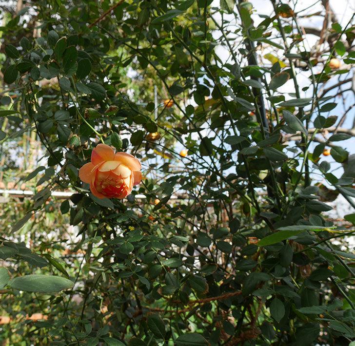 レディ・オブ・シャーロット(ツルバラ)の秋花が咲いた。2017年-4.jpg