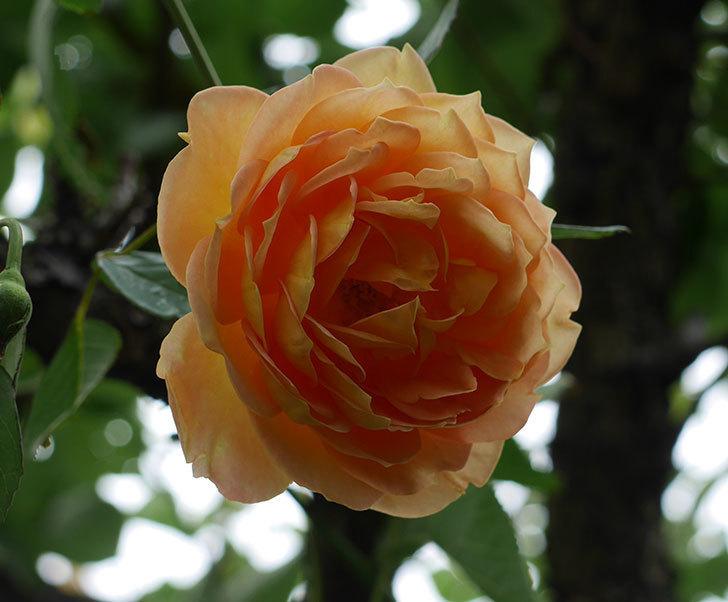 レディ・オブ・シャーロット(ツルバラ)の秋花が咲いた。2018年-1.jpg