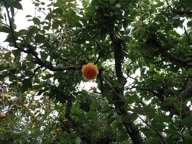 レディ・オブ・シャーロット(ツルバラ)の秋花が咲いた。2018年-3.jpg