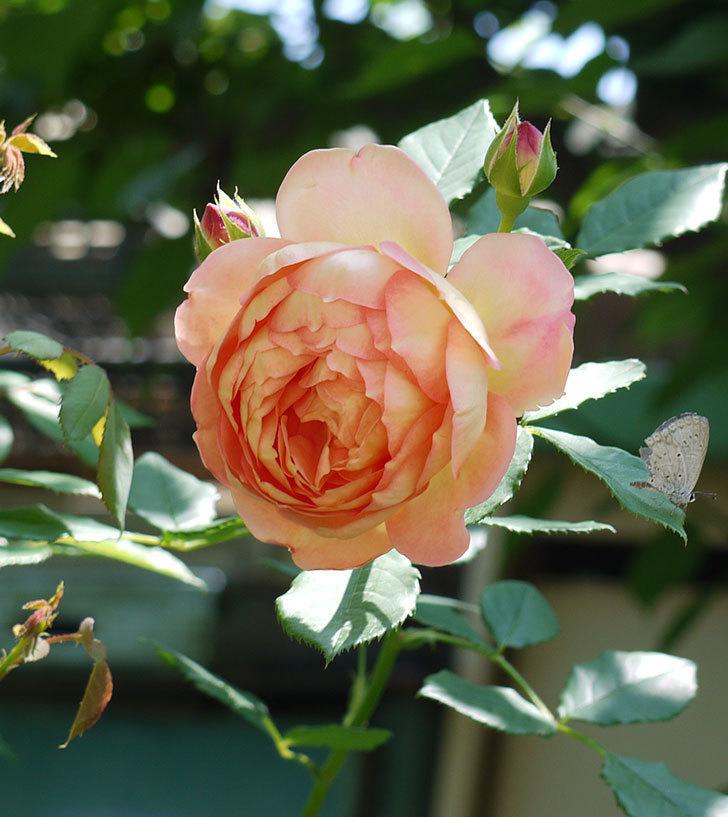 レディ・オブ・シャーロット(ツルバラ)の花が1個咲いた。2017年-1.jpg