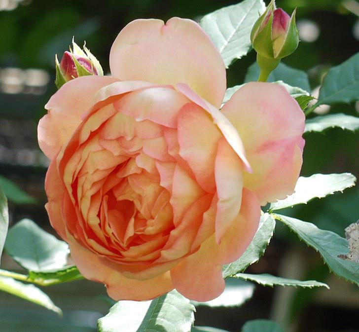 レディ・オブ・シャーロット(ツルバラ)の花が1個咲いた。2017年-2.jpg
