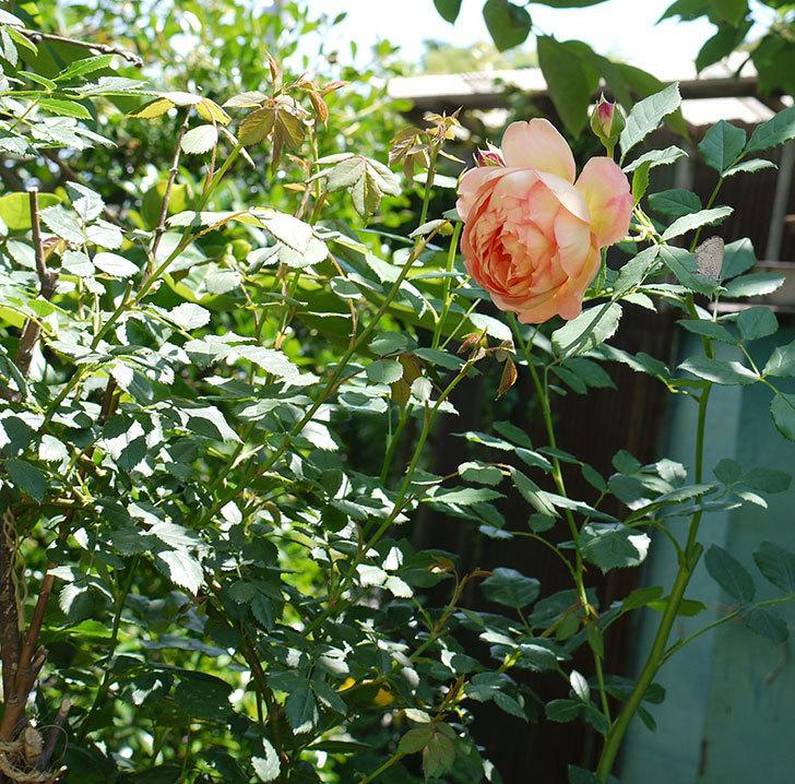 レディ・オブ・シャーロット(ツルバラ)の花が1個咲いた。2017年-3.jpg
