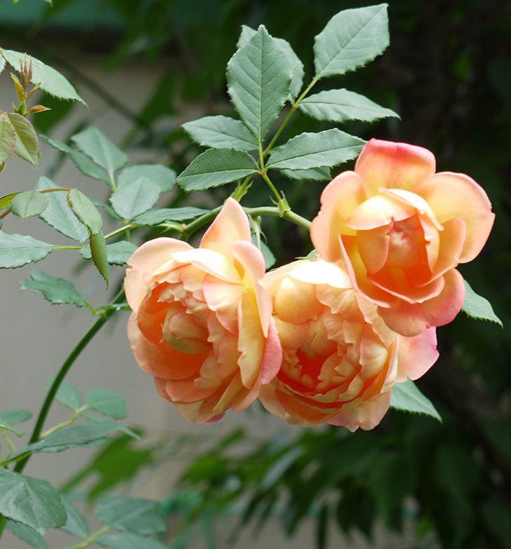 レディ・オブ・シャーロット(ツルバラ)の花が3個咲いた。2017年-3.jpg