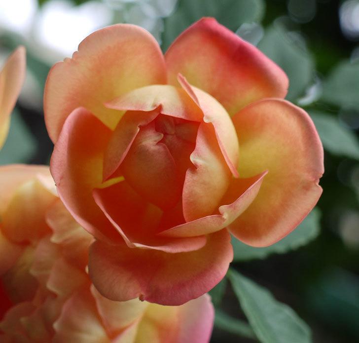 レディ・オブ・シャーロット(ツルバラ)の花が3個咲いた。2017年-4.jpg