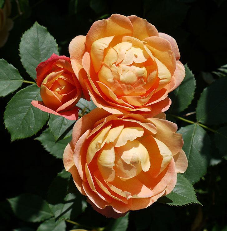 レディ・オブ・シャーロット(ツルバラ)の花がたくさん咲いた。2017年-11.jpg