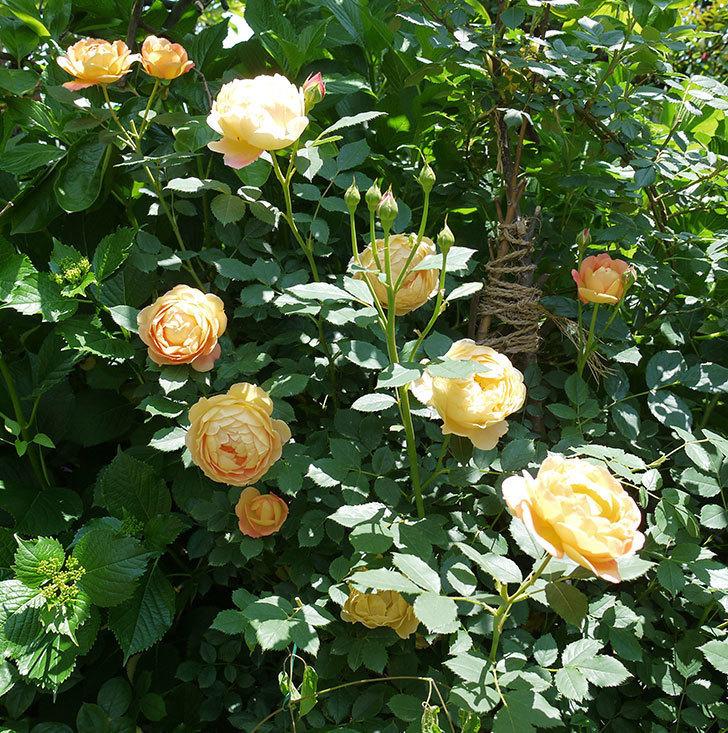レディ・オブ・シャーロット(ツルバラ)の花がたくさん咲いた。2017年-12.jpg