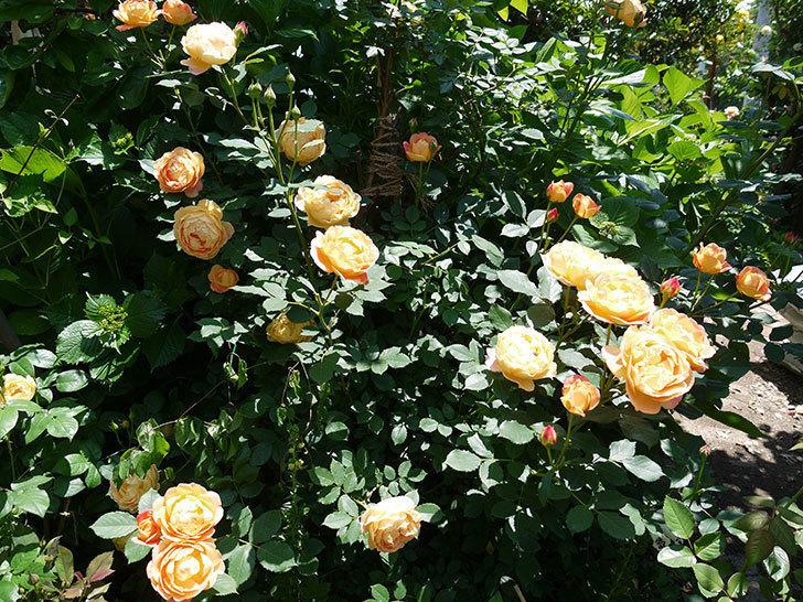 レディ・オブ・シャーロット(ツルバラ)の花がたくさん咲いた。2017年-13.jpg