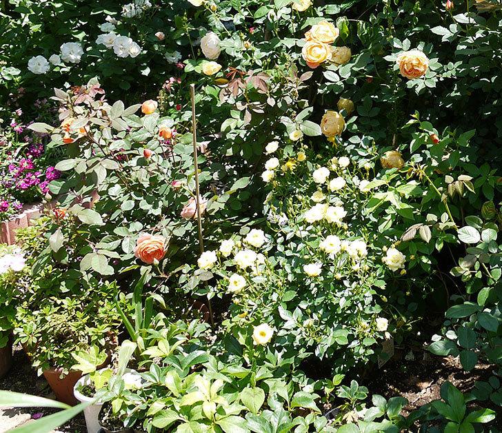 レディ・オブ・シャーロット(ツルバラ)の花がたくさん咲いた。2017年-14.jpg