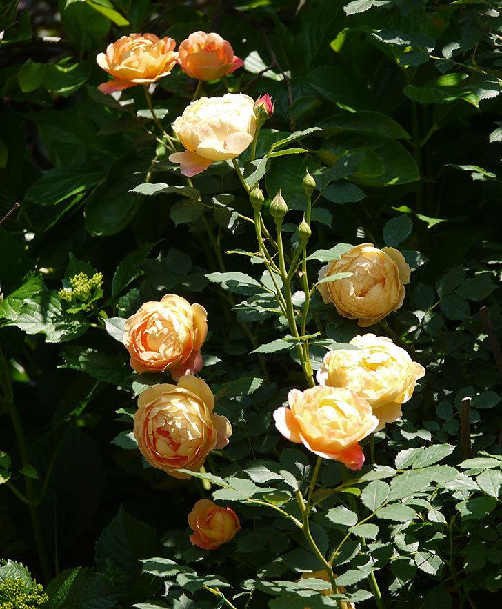 レディ・オブ・シャーロット(ツルバラ)の花がたくさん咲いた。2017年-17.jpg