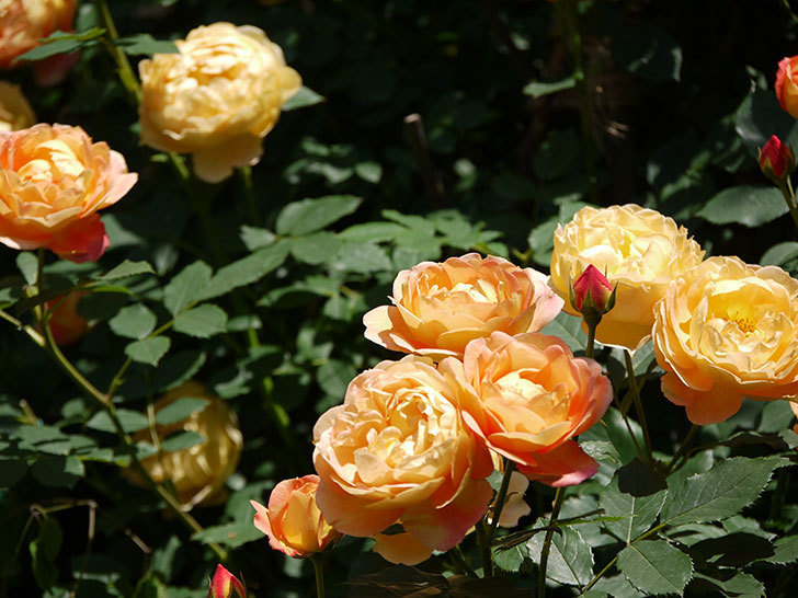 レディ・オブ・シャーロット(ツルバラ)の花がたくさん咲いた。2017年-18.jpg