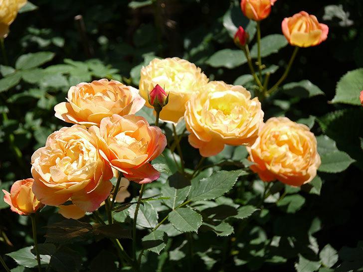 レディ・オブ・シャーロット(ツルバラ)の花がたくさん咲いた。2017年-19.jpg
