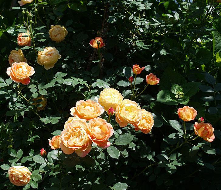 レディ・オブ・シャーロット(ツルバラ)の花がたくさん咲いた。2017年-2.jpg