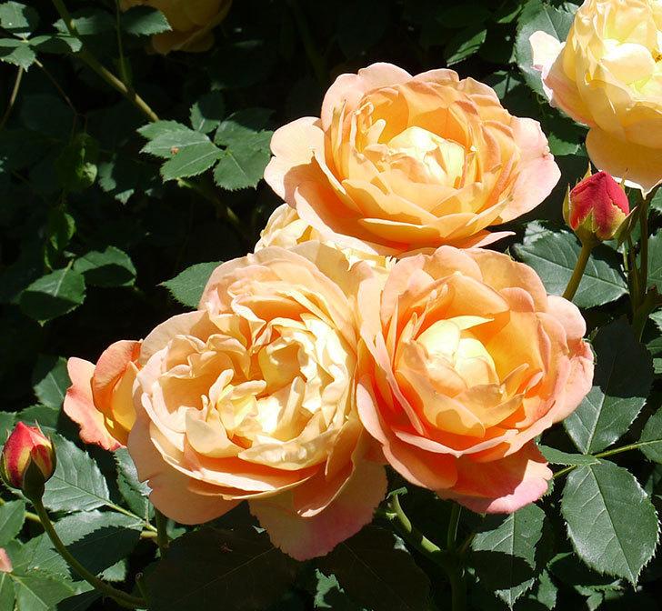 レディ・オブ・シャーロット(ツルバラ)の花がたくさん咲いた。2017年-4.jpg