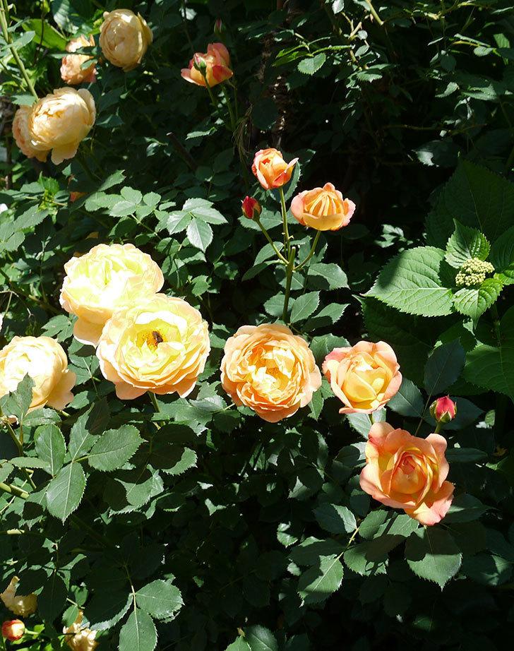 レディ・オブ・シャーロット(ツルバラ)の花がたくさん咲いた。2017年-5.jpg
