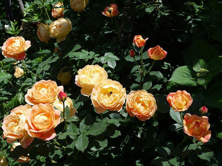 レディ・オブ・シャーロット(ツルバラ)の花がたくさん咲いた。2017年-6.jpg