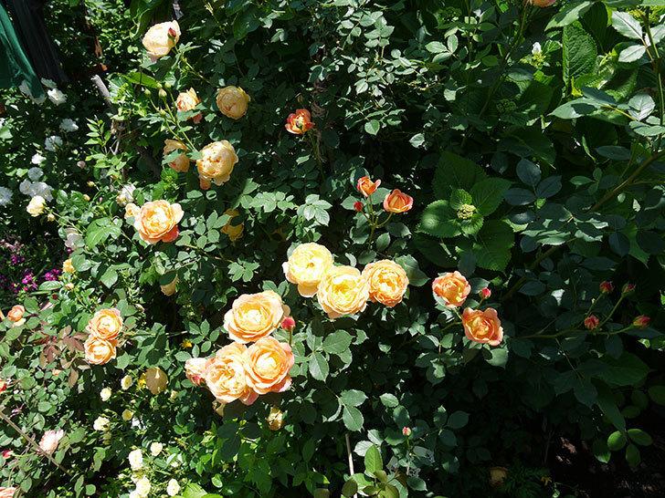 レディ・オブ・シャーロット(ツルバラ)の花がたくさん咲いた。2017年-7.jpg