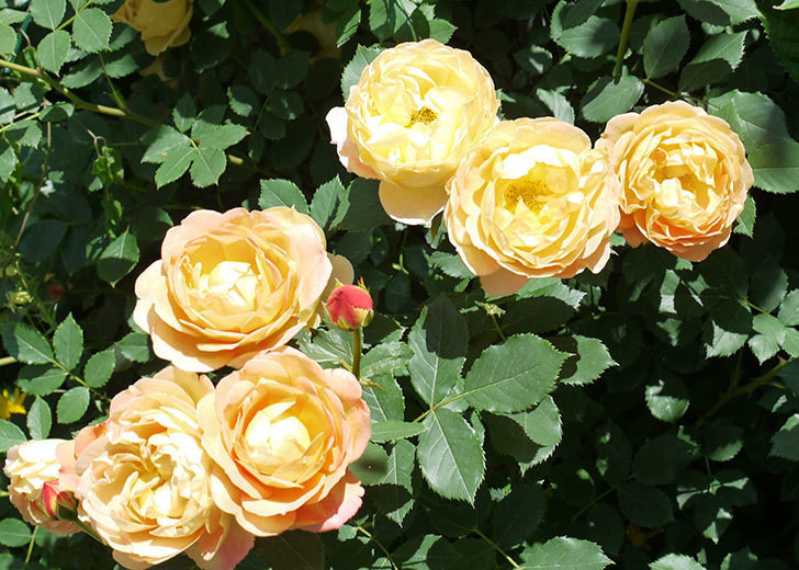 レディ・オブ・シャーロット(ツルバラ)の花がたくさん咲いた。2017年-8.jpg