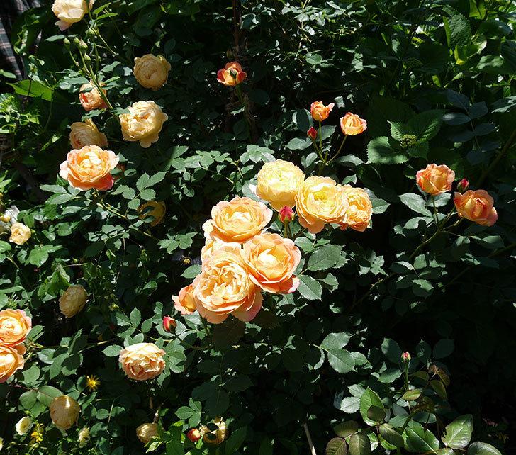 レディ・オブ・シャーロット(ツルバラ)の花がたくさん咲いた。2017年-9.jpg