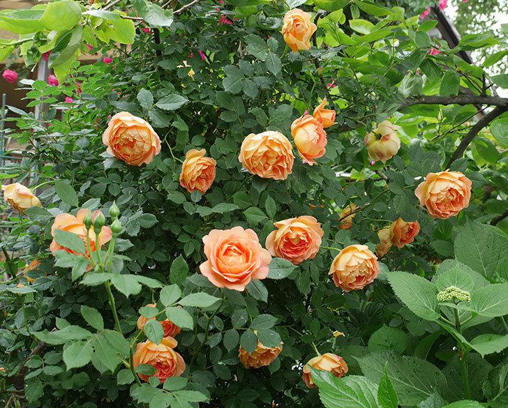 レディ・オブ・シャーロット(ツルバラ)の花がたくさん咲いた。2018年-1.jpg